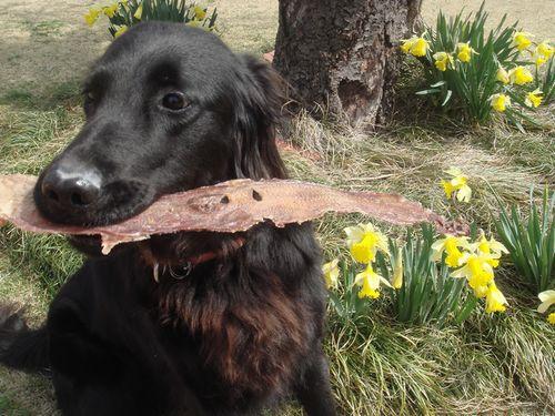 牛タン皮 無選別 試食犬